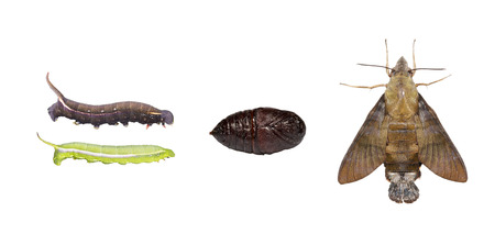 sphingidae: Life cycle  of macroglossum sitiene moth isolated with clipping path