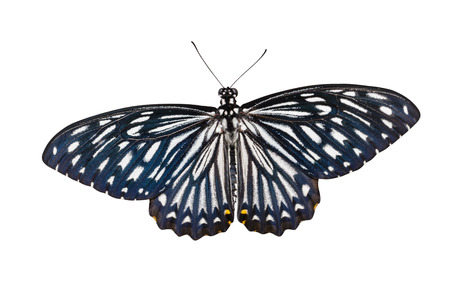 mimo: Aislado mariposa masculina del mimo común con trazado de recorte Foto de archivo