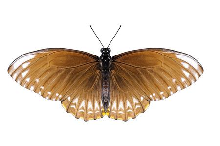 mimo: Aislado mariposa mímica común femenina con trazado de recorte