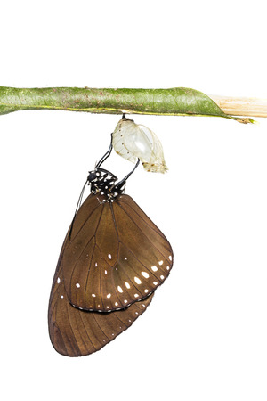 pupa: The Common Crow butterfly emerge from pupa on white background