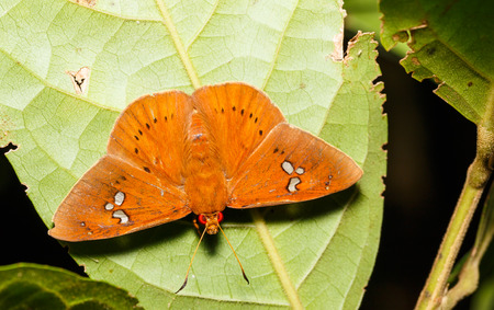 fulvous: The Fulvous Dawnfly butterfly resting under leaf