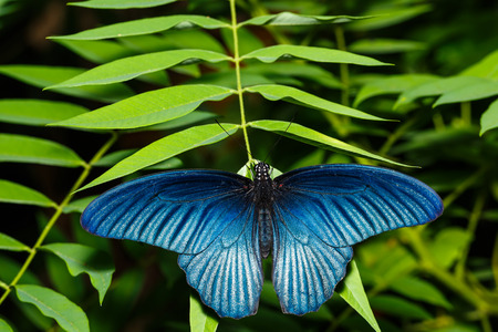 forewing: Male great mormon butterfly resting on leaf