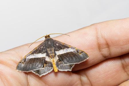 eleonora: Semiothisa eleonora moth hanging with hand
