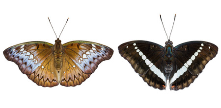 redtail: Isolated male and female Redtail Marquis (Euthalia recta monilis) with clipping path