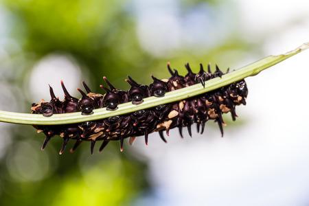 Гусеница золотой общей Birdwing бабочка на растения-хозяина Фото со стока