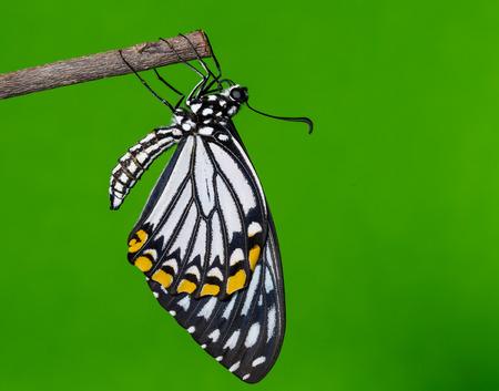 mimo: Hombre mimo mariposa común de descanso después emergió