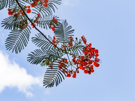 flamboyant: Flamboyant flower against clear blue sky
