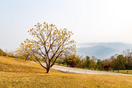 yellow flower tree: Yellow flower tree on high mountain in national park camping site