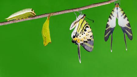 capullo: Cinco barras mariposa swordtail (Antífates Pompilio) ciclo de vida