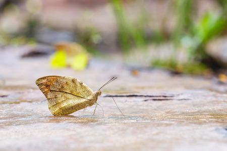 sucking: The great orange tip Hebomoia glaucippe butterfly sucking water