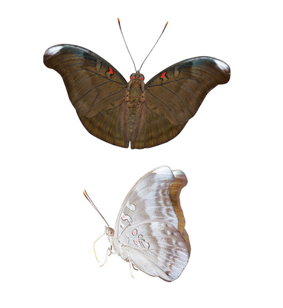 isolated spot: Isolated red spot duke butterfly