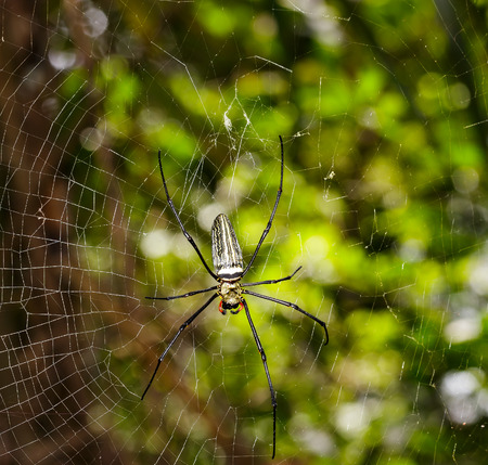 wood spider: Golden wood Spider Nephila pilipes waiting for prey on webs in forest Stock Photo