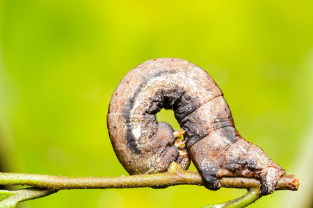 camouflaged: Camouflaged caterpillar of geometrid moth on twig