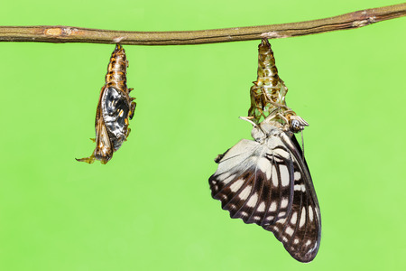 emerging: Black-veined butterfly emerging from pupal Stock Photo