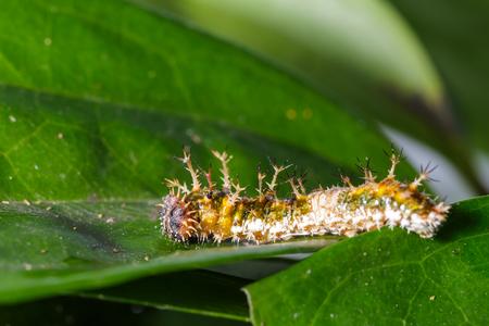 sergeant: Caterpillar of black-veined sergeant butterfly on leaf