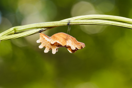 rose butterfly: Chrysalis of common rose butterfly hanging on twig Stock Photo