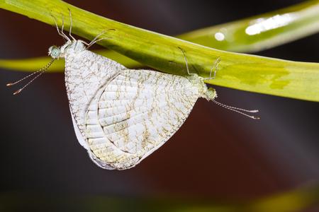 psique: El apareamiento de las mariposas Psique en la ramita Foto de archivo