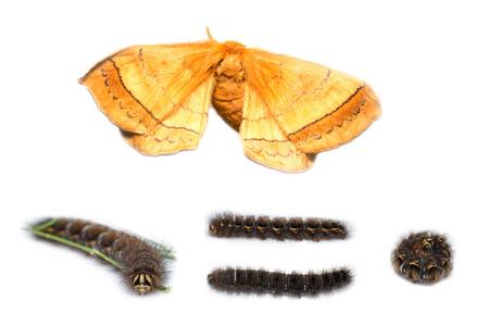 stomach bug: Eupterotidae moth and caterpillar on white Stock Photo