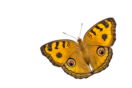 dorsal: Dorsal view of isolated peacock pansy butterfly Stock Photo