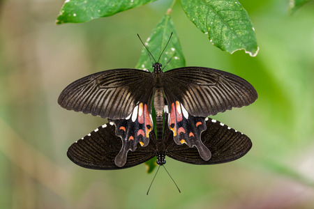 forewing: Pair of mating Mormon butterflies hanging on green leaf Stock Photo
