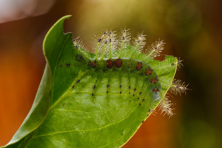 gaudy: Caterpillar of the Commom Gaudy Baron butterfly  Euthalia lubentina  walking on twig Stock Photo