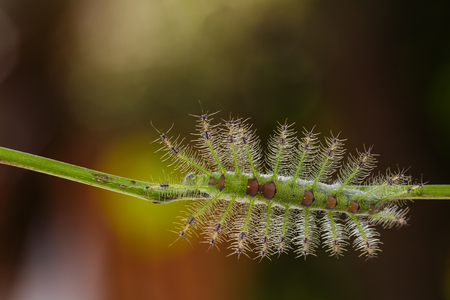 compound eyes: Caterpillar of the Commom Gaudy Baron butterfly  Euthalia lubentina  walking on twig Stock Photo