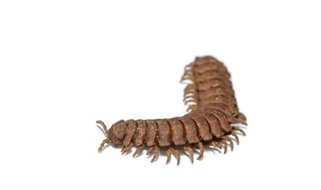 jointed: Hard skin millipede ( Polydesmidae ) on white background Stock Photo