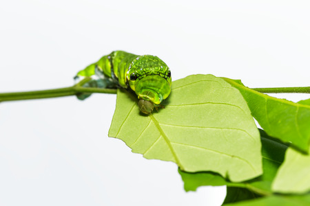 forewing: Caterpillar of Common mormon butterfly on leaf og host plant Stock Photo