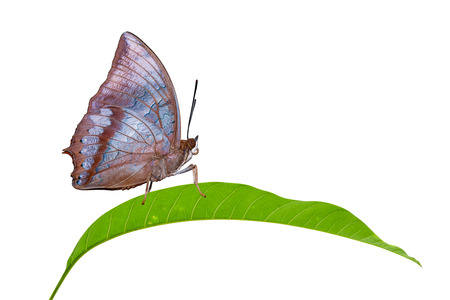 rajah: Isolated Tawny Rajah butterfly on leaf  Stock Photo
