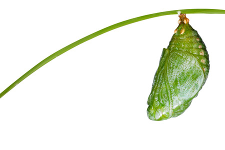 rajah: Isolated pupa of Tawny Rajah butterfly