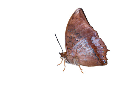 rajah: Isolated Tawny Rajah butterfly on white  Stock Photo