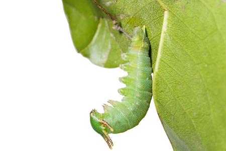 rajah: Caterpillar of Tawny Rajah butterfly hanging on leaf  Stock Photo