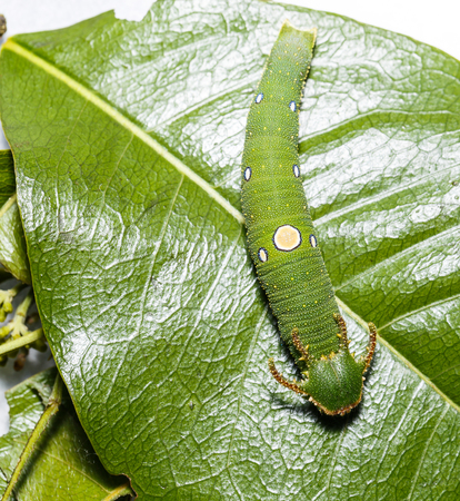 rajah: Caterpillar of Tawny Rajah butterfly on green leaf Stock Photo