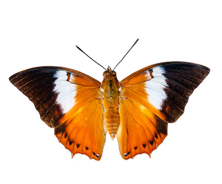 rajah: Isolated Tawny Rajah butterfly on white