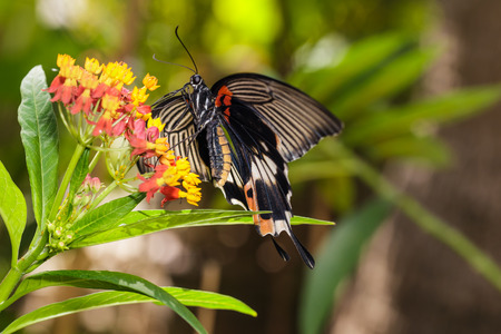 forewing: Female yellow body Great mormon Butterfly resting on flower