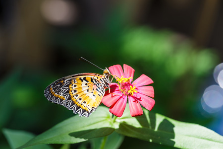 lacewing: Male Leopard lacewing (Cethosia cyane euanthes) butterfly resting on flower