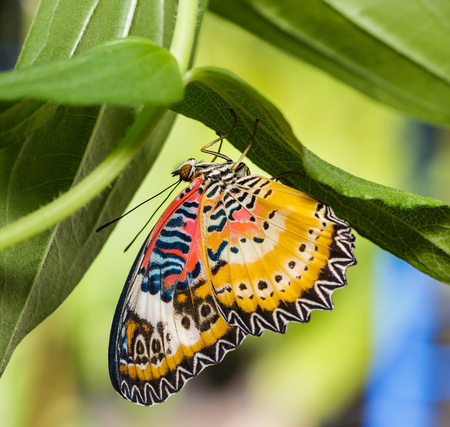 lacewing: Male Leopard lacewing (Cethosia cyane euanthes) butterfly hanging under plant Stock Photo