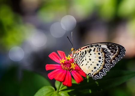 Female Leopard lacewing (Cethosia cyane euanthes) butterfly resting on flower