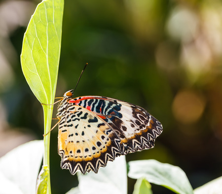 leopard: Female Leopard lacewing (Cethosia cyane euanthes) butterfly resting on plant
