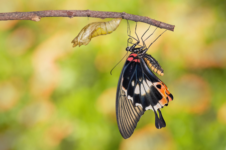 forewing: Female yellow body Great mormon Butterfly resting on twig after emerged from cocoon