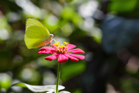 emigrant: The Lemon Emigrant butterfly on red flower Stock Photo