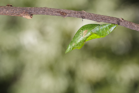 Chrysalis of great mormon butterfly hanging on twig