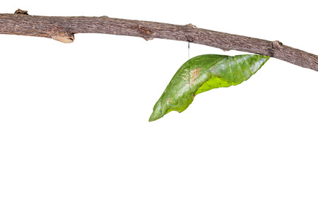 chrysalis: Isolated chrysalis of great mormon butterfly hanging on twig with clipping path Stock Photo