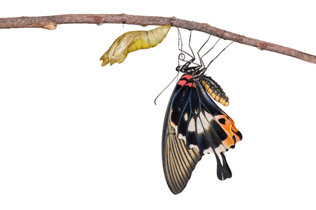 forewing: Isolated female yellow body Great mormon Butterfly resting on twig after emerged from cocoon