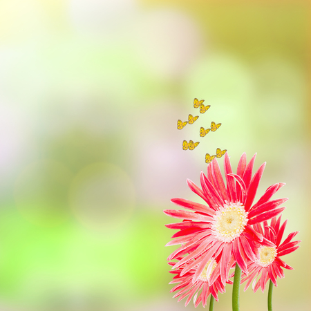 pink flower: Red gerbera flowers and butterflies on green background