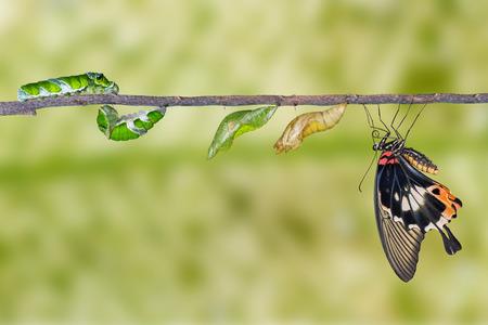 biologia: ciclo de vida de gran mariposa mormona de la oruga Foto de archivo