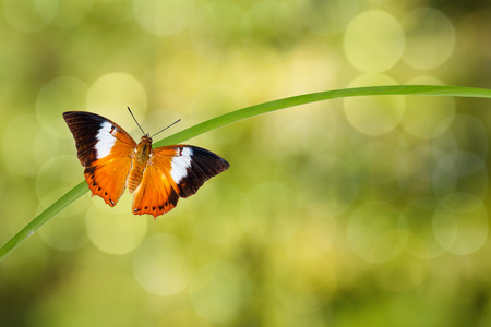 rajah: Tawny Rajah butterfly resting on twig with green background