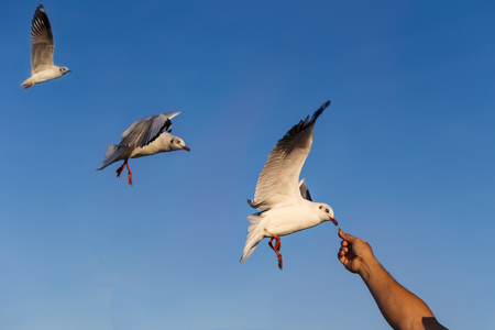 white headed: Gulls eating food from hand