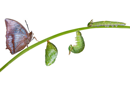 tawny: Life cycle of Tawny Rajah butterfly with caterpillar and larva Stock Photo