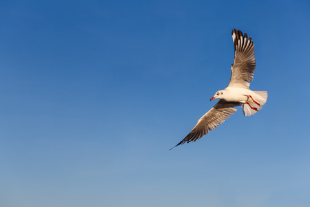 larus: Flying Brown-headed gull with blue sky Stock Photo